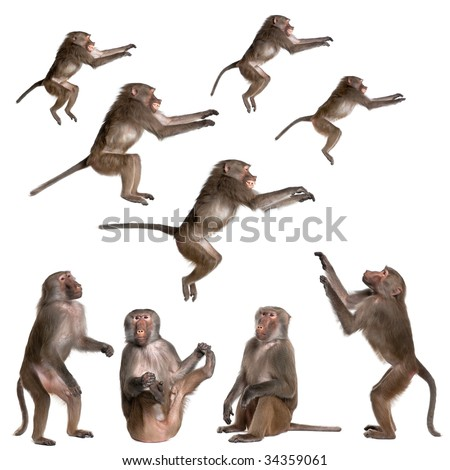 many views of Baboon in differents size and position, sitting, jumping, looking up  -  Simia hamadryas in front of a white background