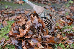 Many wet brown leaves form a heap behind a leaf rake. The many tines of the rake form a fan shape, but are rusted from use and old age. Garden tool.