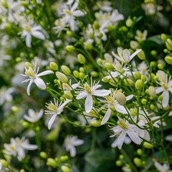 Many white blooms of Clematis fragrant virgin's bower in summer garden. White Clematis flammula fragrant flowers, close up.