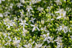 Many white blooms of Clematis fragrant virgin's bower in summer garden. White Clematis flammula fragrant flowers.