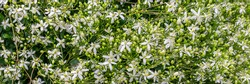 Many White Clematis flammula fragrant flowers, banner. Beautiful white blooms of Clematis fragrant virgin's bower in summer garden