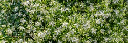 Many White Clematis flammula fragrant flowers, banner. Beautiful white blooms of Clematis fragrant virgin's bower in summer