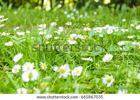 Many white daisies between green fresh grass in a meadow in front of the forest and shining sun, lens flares, in germany. #665867035