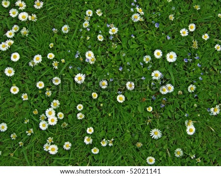 Many white daisies in top view of meadow, several  Bird's-eye Speedwell  also visible (Bellis perennis and Veronica chamaedrys) #52021141