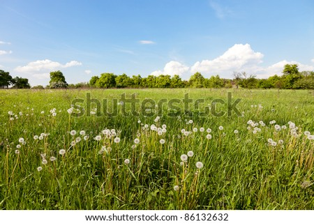 Many white dandelions in the field. - stock photo