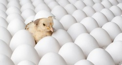many white eggs and one egg hatches chicken - nestling, closeup photo, incubator concept