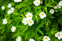 Many white flowers in the flowerbed. Background of white flowers. Flower .
