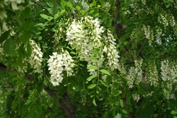 Many white flowers in the leafage of Robinia pseudoacacia in mid May