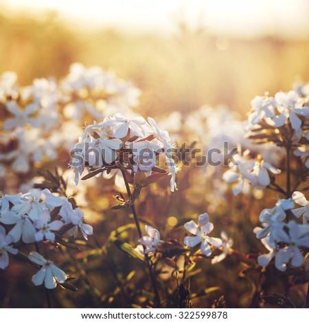 many white meadow wild flower...