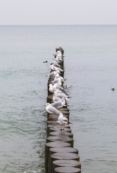 Many white sea gulls sit on a long wooden breakwater that extends far out to sea. Autumn in the Baltic.