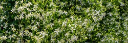 Many White small flowers. Clematis flammula fragrant plant, banner. Beautiful white blooms of Clematis fragrant virgin's bower in summer garden