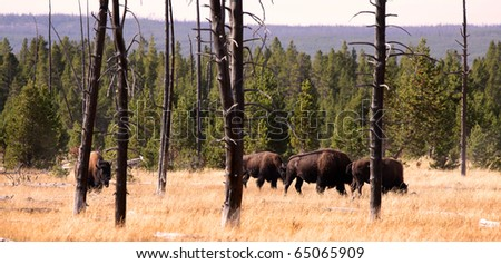 Many wild Bisons grazing  at Yellowstone park