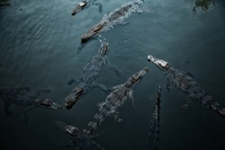 Many wild crocodiles swimming in dark teal water.  Group of predator reptiles floating in a river. Dangerous hungry animals waiting for prey