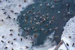 Many wild ducks swim in the winter river in the city and wait for people to feed them from the bridge. The ice was specially broken on the river so that the ducks had a place to swim