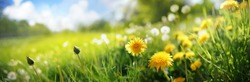 Many yellow dandelion flowers on meadow in nature in summer close-up macro against a blue sky with clouds. Bright summer landscape panorama, colorful artistic image, ultra wide banner format.