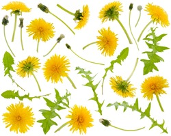 Many yellow dandelions and dandelions leaves at various angles isolated on white background