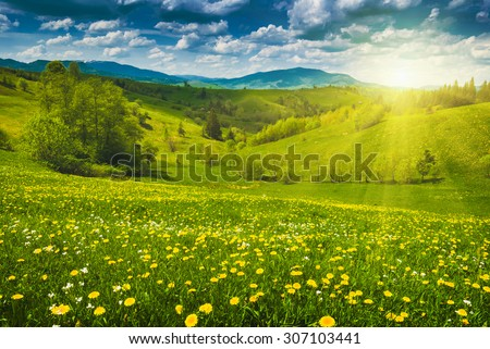 Many yellow flowers in a spring meadow. Carpathian mountain valley