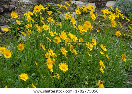 Photo of  Many yellow flowers of Coreopsis lanceolata in May