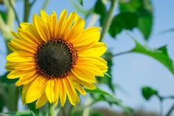 Many yellow sunflower in a field