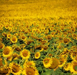 many yellow sunflowers in the big sunflower field almost to infinity