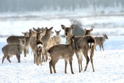 Many young deer in winter meadow