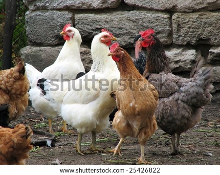 many young hens on the poultry farm