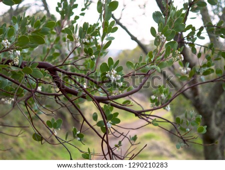 Manzanita blossoms, bell shaped flowers with branches and green leaves and path in background. Napa, California, January 2019