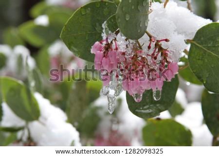 Manzanita Blossoms in Snow 1