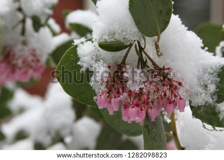 Manzanita Blossoms in Snow 2