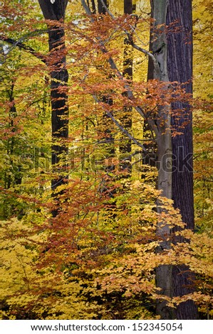 Maple and beech trees in peak fall color at Warren Woods State Park, Michigan.