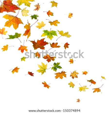 Maple autumn falling leaves, isolated on white background. #150374894