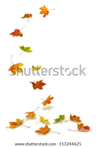 Maple autumn leaves falling to the ground, on white background. #153244625