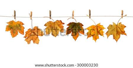 Maple branch hanging on clothesline isolated on white background #300003230