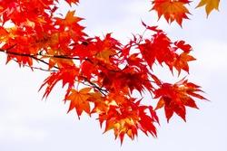 Maple branch tree on sky background in autumn season, maple leaves turn to red, sunlight in season change, Japan