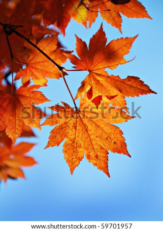 Maple foliage against sky, autumn