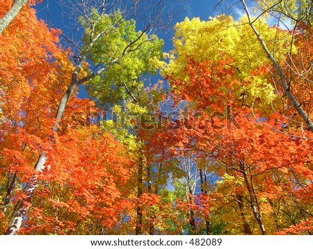 Maple forest in glorious fall colors