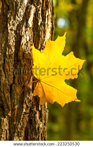 Maple leaf and a trunk on a blurred forest texture.