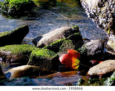 Maple leaf in tidal pool
