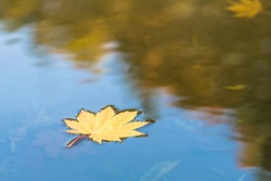 maple leaf in water, floating autumn maple leaf