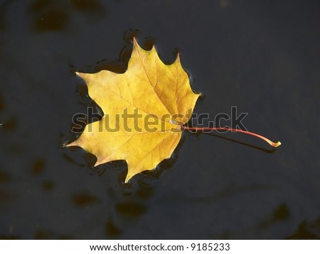 Maple leaf on the water
