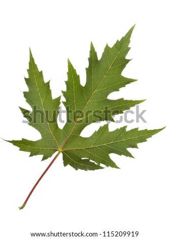 Maple leaf on white background