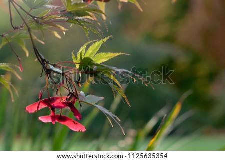 Maple leafs in low sun #1125635354