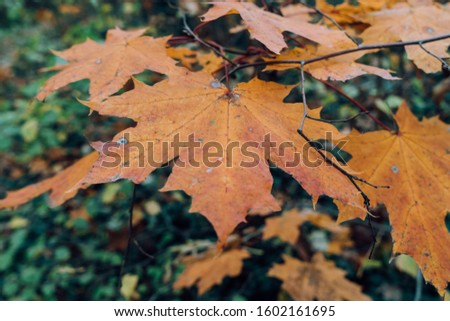 Maple leave in autumn colors. Autumn leaves in autumn colors and lights