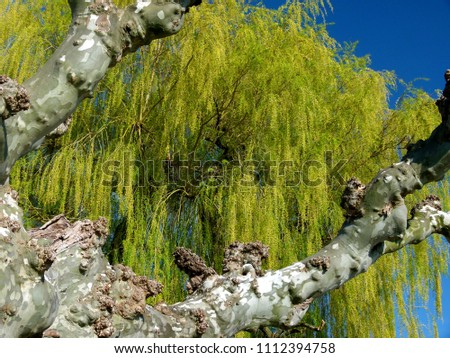 Maple-leaved sycamore in front of a weeping willow,