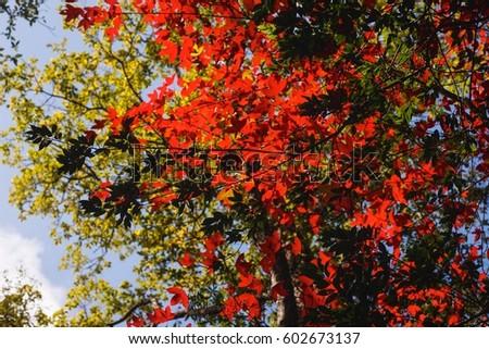 Maple leaves #602673137