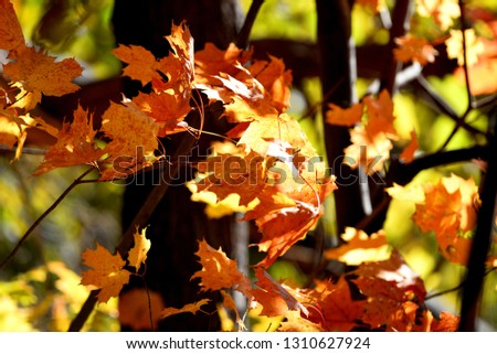 maple leaves closeup #1310627924