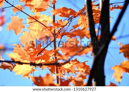 maple leaves closeup #1310627927