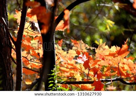 maple leaves closeup #1310627930
