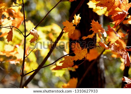 maple leaves closeup #1310627933