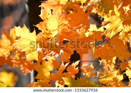 maple leaves closeup #1310627936